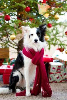 Christmas dog❤️border collie- I love this as as Christmas pet portrait! Some day when I have my own dog I will have to do this.