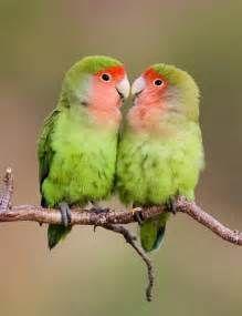 Rosy-faced Lovebird (Agapornis roseicollis) » Planet of Birds