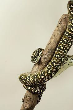 Diamond carpet python