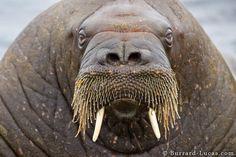 i am the walrus...koo koo ka joob