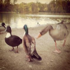 I told you! Ducks get constantly mobbed by geese