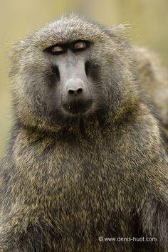 La Galerie - Christine et MichelDenis Huotphotographes animaliers - - babouin doguera - 24603