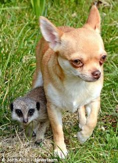 A meerkat abandoned at birth finds a new mother . A chihuahua named Kimi Chihuahua Names, Cute Chihuahua, Chihuahua Puppies, Dogs And Puppies, Pet Dogs, Chihuahuas, Mundo Animal, My Animal, Unlikely Animal Friends