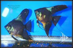 Pinoy Angel Fish Tank, Freshwater Aquarium Fish, Beautiful Fish, Cichlids, Vertebrates, Pinoy, Tropical Fish, Angelfish, Fresh Water