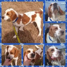 Adoptable English Coonhounds