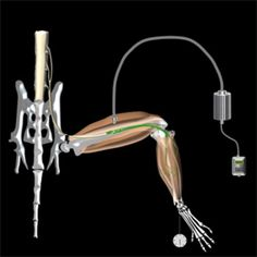 Light-activated Neurons Can Restore Paralyzed Muscles