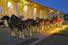 Budweiser Clydesdales at Christmas
