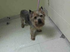 SAFE --- Staten Island Center ROMEO - A1021995 NEUTERED MALE, BROWN / BLACK, YORKSHIRE TERR MIX, 7 yrs OWNER SUR - EVALUATE, NO HOLD Reason NEW BABY Intake condition EXAM REQ Intake Date 11/30/2014, From NY 10304, DueOut Date 11/30/2014, https://www.facebook.com/Urgentdeathrowdogs/photos/pb.152876678058553.-2207520000.1417446204./914513365228210/?type=3&theater