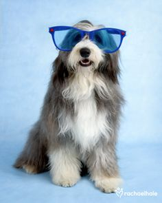 Willow (Bearded Collie) - My, what big blue eyes you have!