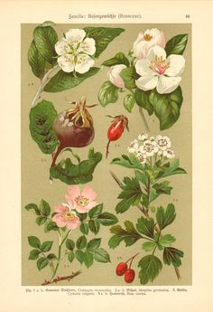 1911 Rosaceae or Rose Family  Hawthorn by CabinetOfTreasures