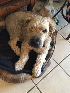 Meet Bo, Lokelani's furry baby who was given by a family friend in October of 2008. He is a soft coated wheaten terrier who's original name was Bull after Bullwinkle but Bo sounded cuter. He enjoys running, barking at the neighbor dogs and stealing cookies from the kitchen counter.