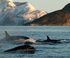 Norway - Lofoten islands - whale watching   diesen Sommer werde ich dort sein- freu freu freu !!!!