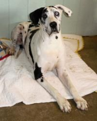 Boomer is an #adoptable Great Dane Dog in #Bethel, #OHIO. Almost 5 years ago I was found roaming the busy streets of Columbus and taken to the Franklin County Animal Shelter. When I arrived at the shelter ...