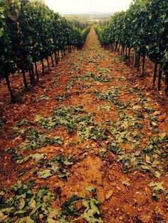 Tuscany - Vineyard