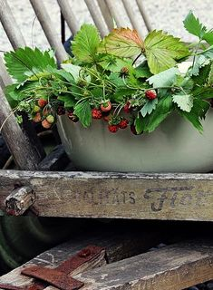 Witchy Garden, Strawberry Farm, Strawberry Fields Forever, Country Life, Container Gardening, Organic Gardening, Berries, Cottage, Rustic