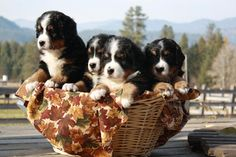 Bernese Mountain puppies!!!!!!!! I'll take all of them!