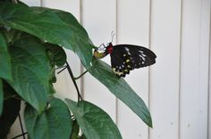 Cairns birdwing butterfly placing her single egg on the underside of a leaf.