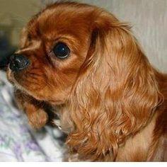 Handsome Ruby Cavalier King Charles Spaniel