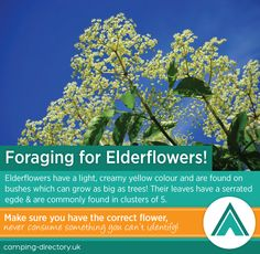 Foraging for elderflowers can be so much fun for the whole family!  Camping. Green. Eco. Nature. Outdoors.