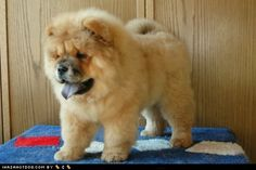 Little Lion with that purple tongue!   chow chow puppy http://www.akc.org/breeds/chow_chow/index.cfm