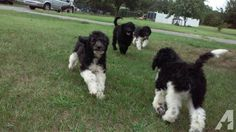 Black and White Parti Goldendoodles   Goldendoodles, F1B Parti Color, Black & White,Avail Now for sale in ...