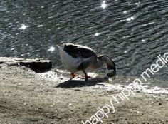 Out For A Drink by happyhippomedia on Etsy, $12.00 #nature #duck #lake #peaceful