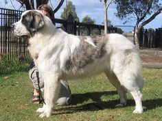 Breton Grande Y Grato (Australia), the Beautiful Pyrenean Mastiff Mastiff Dog Breeds, Akc Breeds, Rare Dog Breeds, Chihuahua Puppies, Dogs And Puppies, Pyrenean Mastiff, Rare Dogs, Giant Dogs, Dog Rules