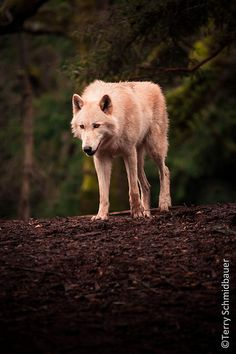 Portrait of a Grey Wolf | Flickr - Photo Sharing!