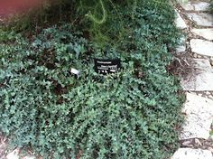 Derwentia perfoliata (syn veronica perfoliata) or 'Diggers Speedwell' Garden Beds, Veronica, Shrubs, Landscape, Street, Cover, Desserts, Plants, Top