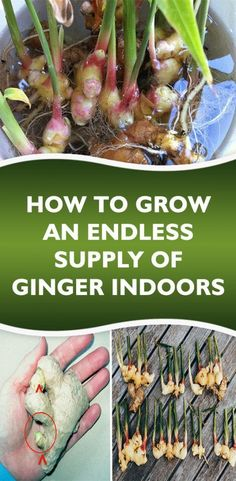 Stop Buying Ginger. Here's How To Grow an Endless Supply of Ginger Right at Home Stop Buying Ginger. Here's How To Grow an Endless Supply of Ginger Right at Home Avocado Dessert, Natural Living, Organic Gardening, Gardening Tips, Vegetable Gardening, Indoor Gardening, Organic Herbs, Gardening Gloves, Gardening Supplies