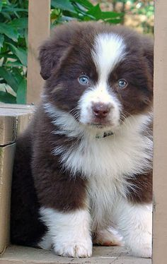 Find Out More On The Smart Australian Shepherd Puppy Animals And Pets, Baby Animals, Funny Animals, Cute Animals, Beautiful Dogs, Animals Beautiful, Gorgeous Eyes, Cute Puppies, Dogs And Puppies