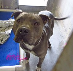 KILLED 2/6/15 --- A4785444 I am a very friendly 1 yr old male gray/white pit bull mix. I came to the shelter as a stray on Dec 19. available 12/23/14 (came in with A4785443) NOTE: Bully breeds are not kept as long as others so these dogs are always urgent!! Baldwin Park shelter https://www.facebook.com/photo.php?fbid=895046937173811&set=a.705235432821630&type=3&theater