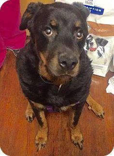 Oak Ridge, NJ - SECOND CHANCE PET ADOPTION LEAGUE 10yr. old senior female Rottweiler. Meet ASIA- BIG MUSH!, a dog for adoption. http://www.adoptapet.com/pet/15621601-oak-ridge-new-jersey-rottweiler