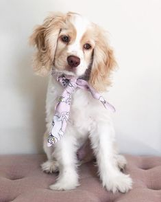How am I supposed to get anything done with this cutie around 😅 Super Cute Animals, Cute Funny Animals, Cute Baby Animals, Cute Dogs And Puppies, I Love Dogs, Doggies, Perro Cocker Spaniel, English Cocker Spaniel, Cockerspaniel