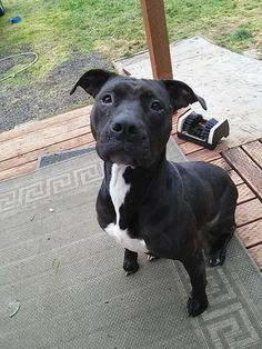 Magick Pit Bull Terrier • Adult • Female • Large Valhalla Canine Rescue Winlock, WA