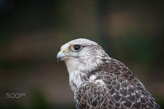 Bird of prey portrait by Michaela Smidova on 500px
