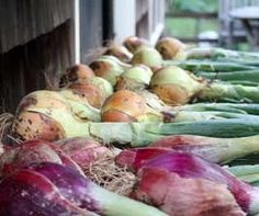 Curing onions on an open shelf outdoors