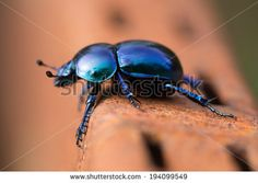 https://thumb7.shutterstock.com/display_pic_with_logo/5462/194099549/stock-photo-beetle-geotrupes-stercorarius-blue-black-specie-of-earth-boring-dung-beetles-194099549.jpg