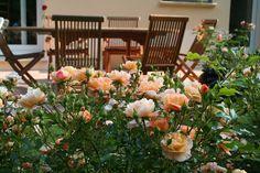 Flower Carpet Amber rose