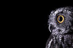 North American Moth owl