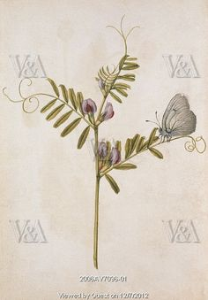 Common Vetch and Black Veined White Butterfly, by Jacques Le Moyne de Morgues Watercolour. France, Copyright © Victoria and Albert Museum, London / V Images -- All rights reserved. White Butterfly, Butterfly Art, Flower Art, Butterflies, Botanical Drawings, Botanical Illustration, Botanical Prints, Jewelry Illustration, Renaissance