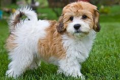 Cavachon - I want one! My daughter has a stuffed animal that looks just like him. :)