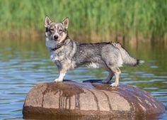 Swedish vallhund after swimming :)
