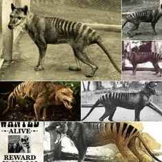 Thylacine or Tasmanian Tiger, Australia. Thought to be extinct.