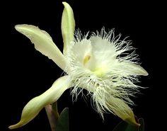 Flor Nacional de Honduras Orquídea de la Vrgen (Rhyncholaelia digbyana)  es una especie de orquídea epífita originaria de Honduras, donde por las noches llena el aire con las fragancias de su perfume parecido a los cítricos. Es la flor Nacional de Honduras, designada de tal manera en Tegucigalpa por el Decreto No. 95 del 25 de noviembre de 1969, en reemplazo de la rosa.