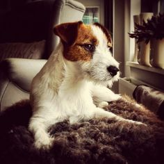 Gijs 9 months #jackrussell #jrt #terrier .