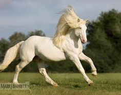 'American white draft horse stallion at 4 years old and 15.3h, by Mark J. Barrett