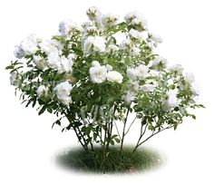 A cut out blooming white rosebush