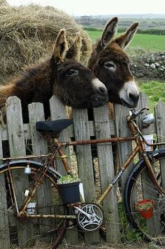 donkey and country fence. Farm Animals, Animals And Pets, Cute Animals, Wild Animals, Beautiful Creatures, Animals Beautiful, Mundo Animal, Tier Fotos, Zebras