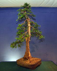 Sequoia Sempervirens Update Bonsai Art, Bonsai Garden, Bonsai Trees, Redwood Bonsai, Sequoia Sempervirens, Ikebana, Plant Hanger, Artsy, Fairy Gardens